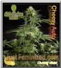 Philosopher Auto Stilton Female 5 Ganja Seeds